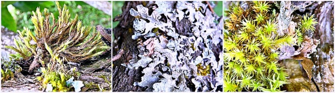 decay-moss-lichen-lilac tree-photo-SwittersB