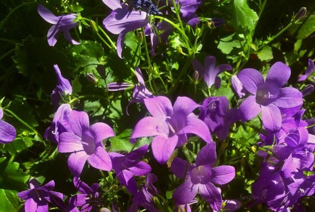 groundcover-garden-plants-SwittersB