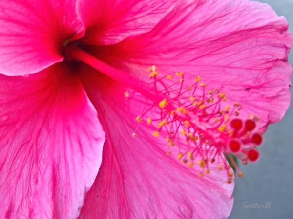 Habiscus, stamen, flower, SwittersB