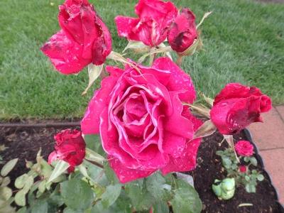battered roses, SwittersB