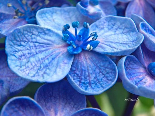 hydrangea but opening-SwittersB