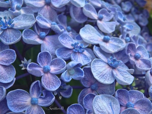 hydrangea-backyard-SwittersB