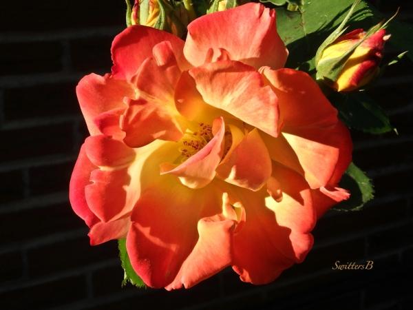 Joseph's Coat, Rose, SwittersB