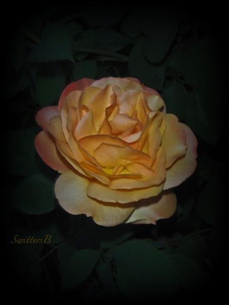 Pop the Cork, rose, SwittersB, backyard