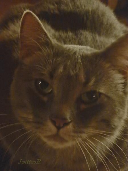 Penny, cat, pet, SwittersB
