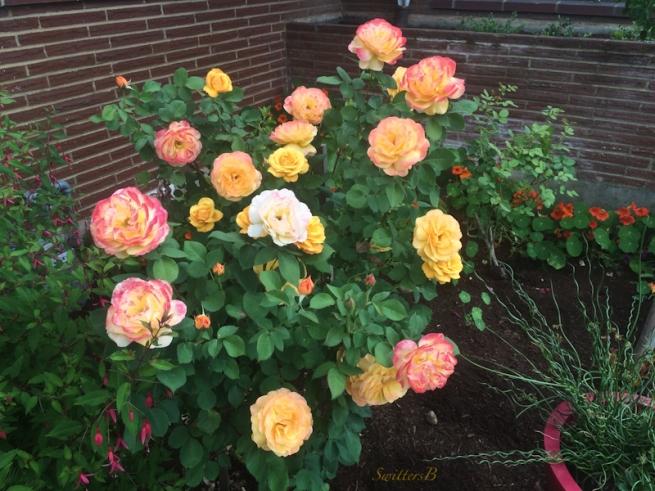 pop the cork-rose-blooms-SwittersB