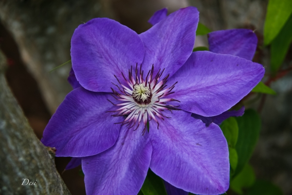 purple clematis-Desi-SwittersB