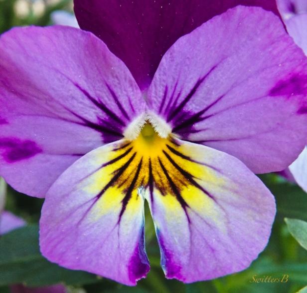 purple pansy-backyard-garden-SwittersB