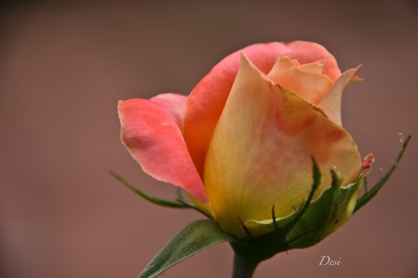 rose bud-Desi-garden-SwittersB