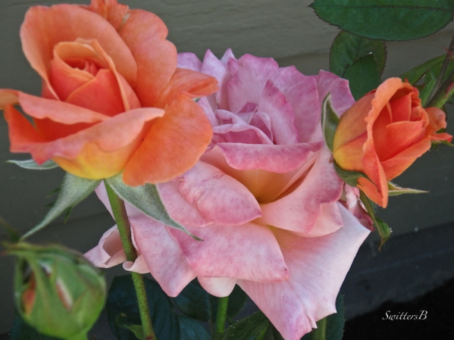 stages of a rose, life, garden, SwittersB