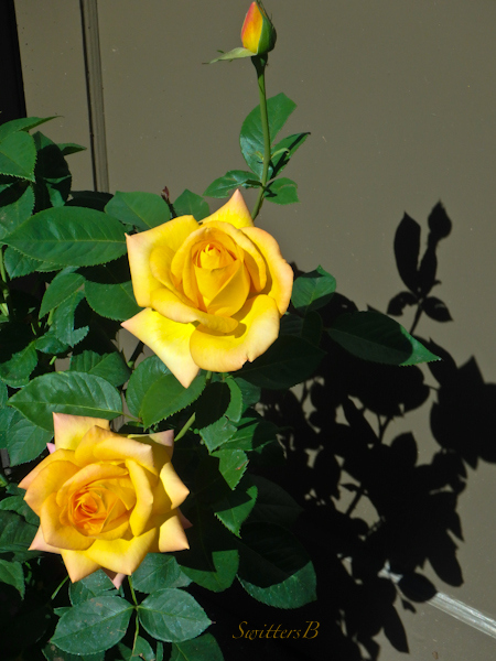 Gold Medal, Yellow Roses, shadows, SwittersB
