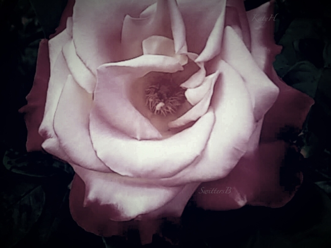 soft pink rose-garden-SwittersB