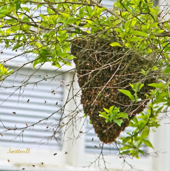 swarm-bees-Portland-photo-SwittersB