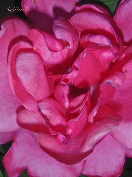 rose, petals, swirl, SwittersB