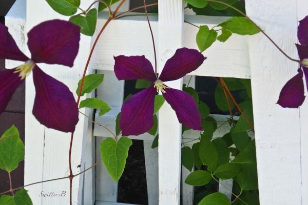 clematis-trellis-garden-SwittersB