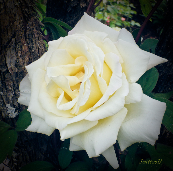 white rose, SwittersB