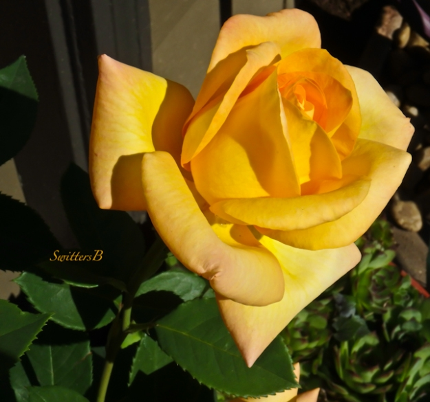 yellow rose-bloom-backyard-SwittersB