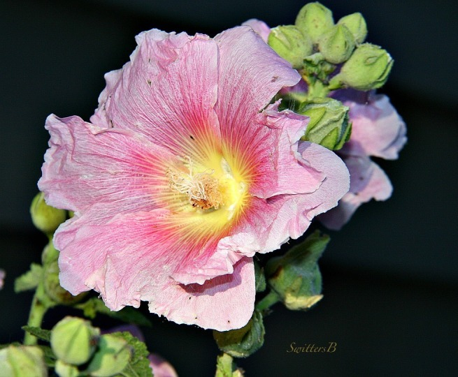 Alcea--Hollyhocks-Mallow-Gardening-Photography-SwittersB