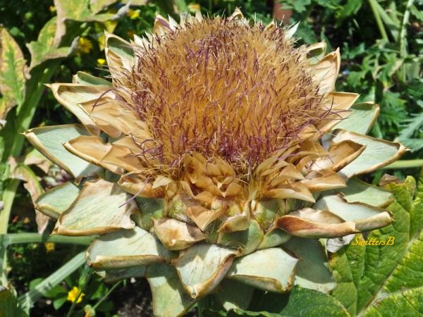 artichoke, garden, SwittersB