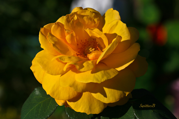 backyard-yellow rose-pop the cork-Portland-macro-roses-photography-SwittersB