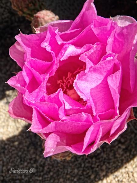 vivid-pink-petals-cactus-SwittersB-Mojave