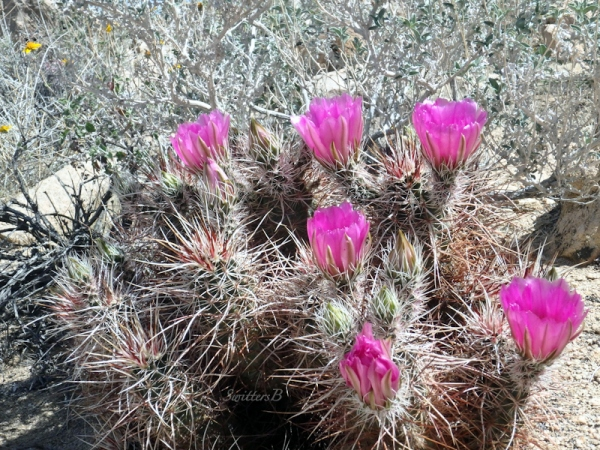 mound cactus, Mojave, desert, flowers, SwittersB