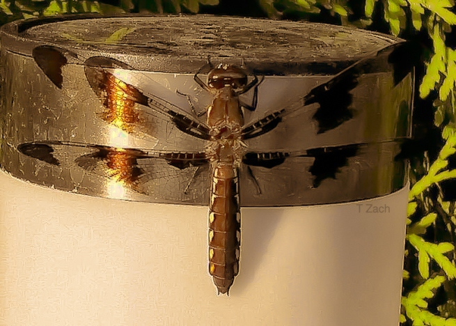 dragon fly-light-garden-TZach-SwittersB
