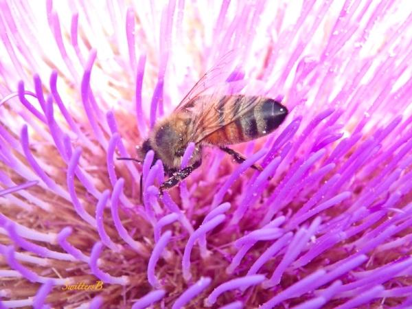 honey bee, artichoke bloom, SwittersB