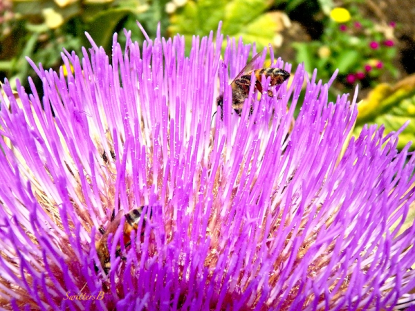 artichoke bloom, honey bees, SwittersB