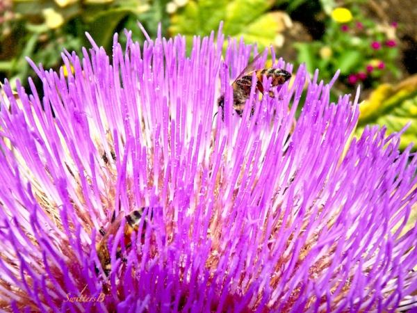 artichoke bloom, honey bees, SwittersB