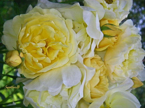 pale yellow-roses-backyard-SwittersB