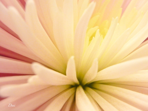 petals-macro-Desi-flower-SwittersB