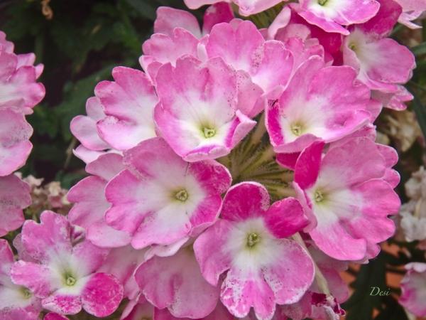 pink flowers-Desi-backyard-SwittersB