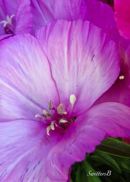 petals-purple flower-SwittersB