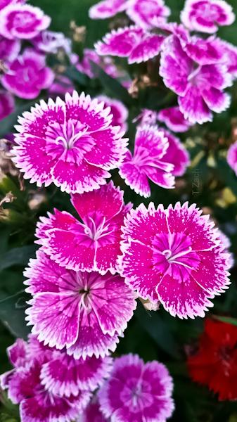 TZach-pink flowers-SwittersB