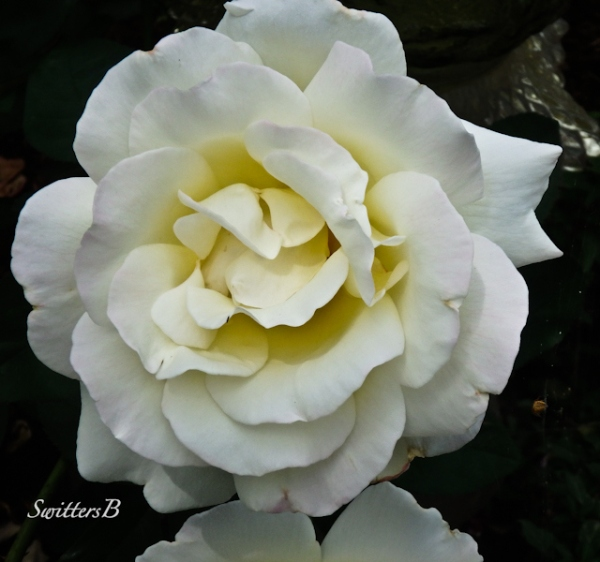 white rose, garden, backyard, SwittersB