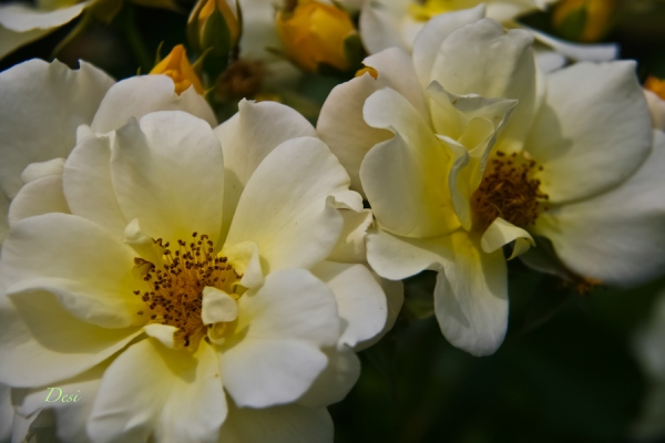 white & yellow roses-backyard-SwittersB-Desi