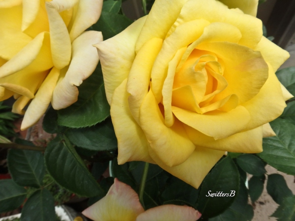 yellow rose-bloom-SwittersB