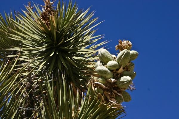 yucca tree-flower pod-desert-SwittersB