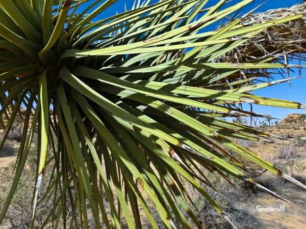 Yucca tree-desert-SwittersB