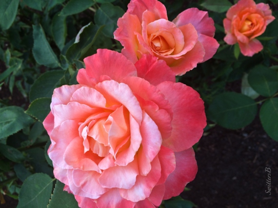 beautiful roses-backyard-SwittersB
