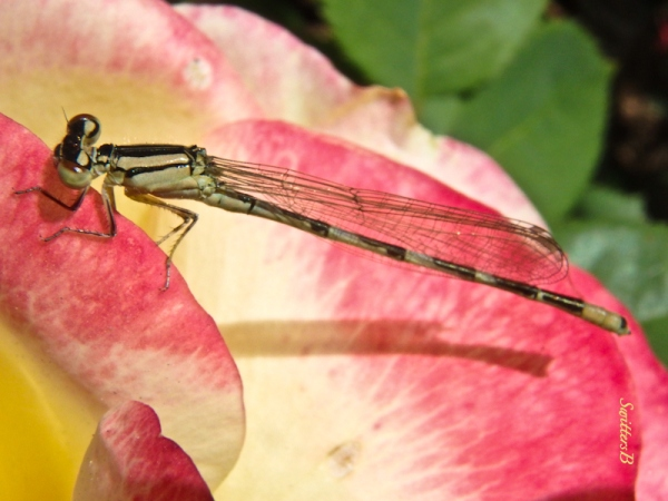 damsel fly, rose petals, swittesb