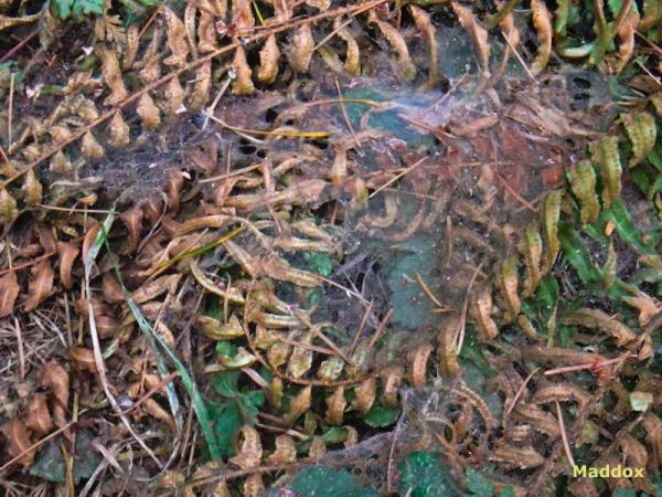 Maddox, Reed, ferns, cobwebs