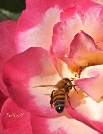 garden-honey bee-red rose-SwittersB