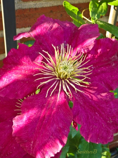 clematis, garden, SwittersB