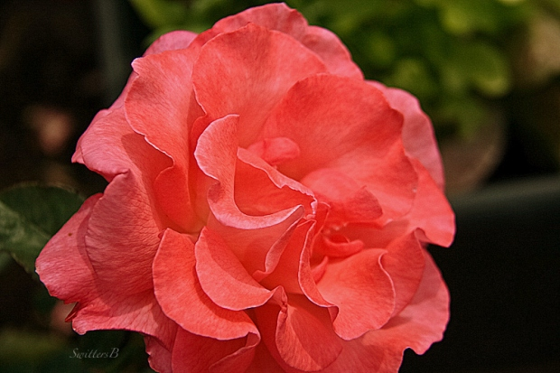 gorgeous rose-backyard-petals-SwittersB