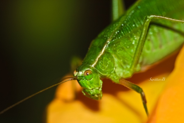 green leaf cricket-rose-insect-SwittersB