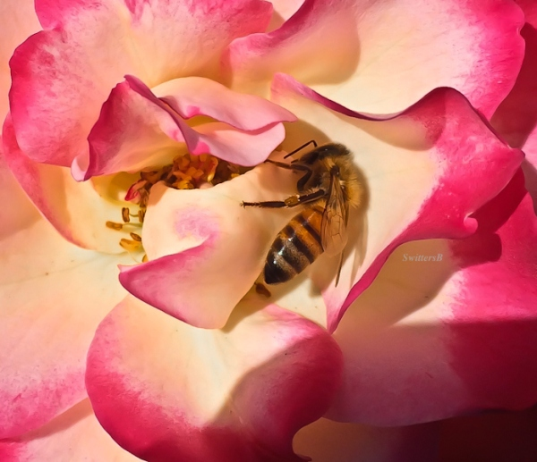 honey bee-rose-SwittersB-Portland