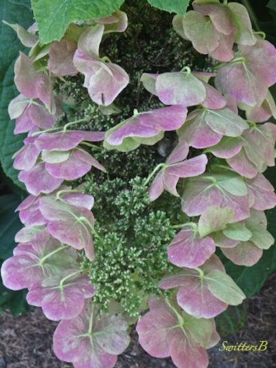 lace cap hydrangea, SwittersB