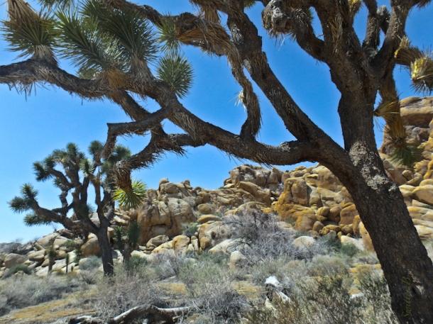joshua tree, california, mojave desert, SwittersB